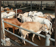 Slaughter Stock